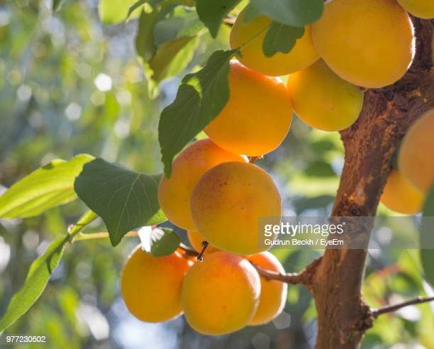 low angle view of apricots on tree - apricot tree stock pictures, royalty-free photos & images