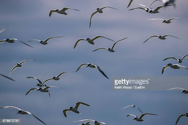 Low Angle View Of Arctic Terns Flying Against Sky