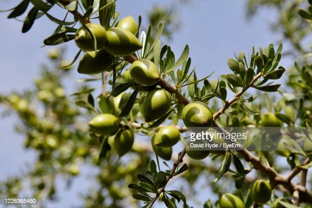 low angle view of  argan fruits on tree against sky - argan tree stock pictures, royalty-free photos & images