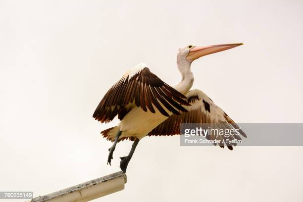 low angle view of australian pelican perching against clear sky - frank schrader stock pictures, royalty-free photos & images
