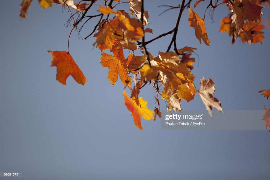 Low Angle View Of Autumn Leaves Against Clear Blue Sky : Stockfoto