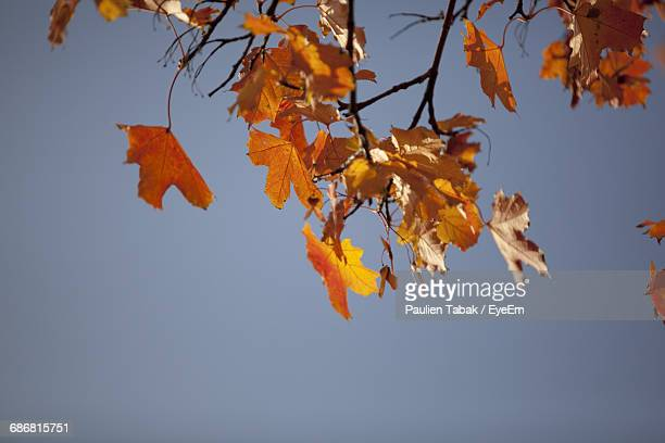 low angle view of autumn leaves against clear blue sky - paulien tabak foto e immagini stock