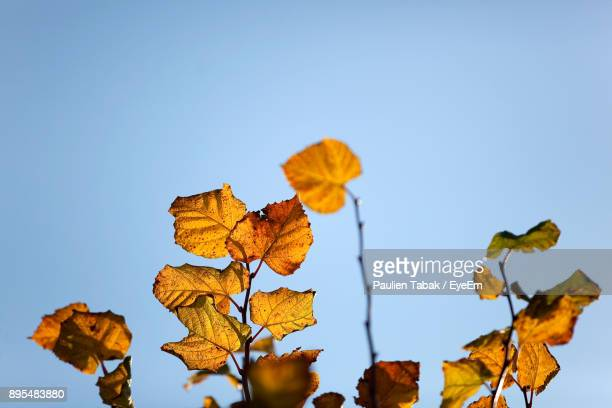 low angle view of autumn leaves against clear sky - paulien tabak stock pictures, royalty-free photos & images