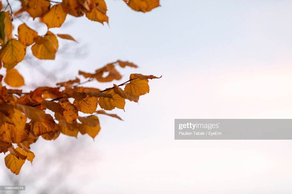 Low Angle View Of Autumn Leaves Against Sky : Stock Photo