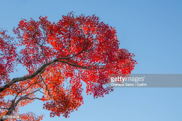 low angle view of autumn tree against clear blue sky - chanayut stock photos and pictures