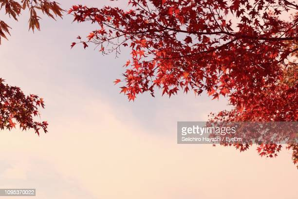 low angle view of autumn tree against sky during sunset - seiichiro hayashi ストックフォトと画像