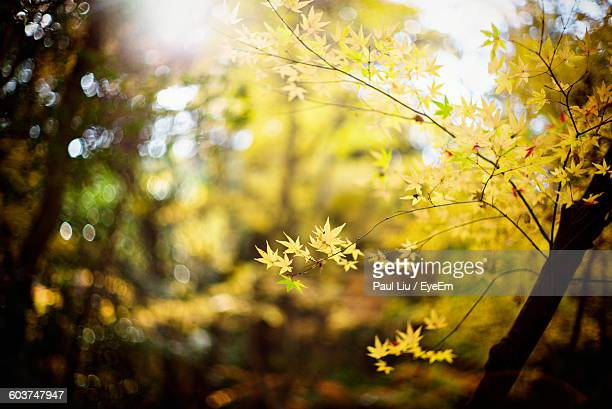 low angle view of autumn tree - liu he stock pictures, royalty-free photos & images