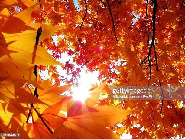 Low Angle View Of Autumn Trees Against Bright Sun