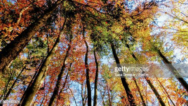 Low Angle View Of Autumn Trees In Forest