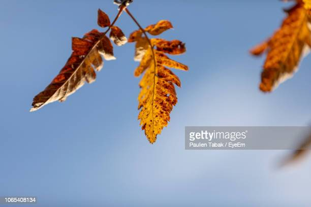 low angle view of autumnal leaves against clear sky - paulien tabak 個照片及圖片檔