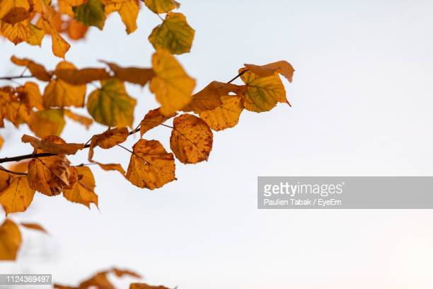 low angle view of autumnal leaves against clear sky - paulien tabak stock-fotos und bilder
