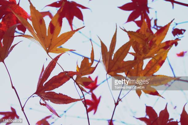 low angle view of autumnal leaves against sky - tomiko inoi ストックフォトと画像