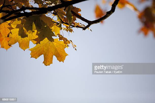 low angle view of autumnal tree against clear blue sky - paulien tabak foto e immagini stock