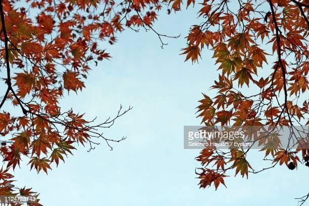 low angle view of autumnal tree against clear sky - seiichiro hayashi ストックフォトと画像