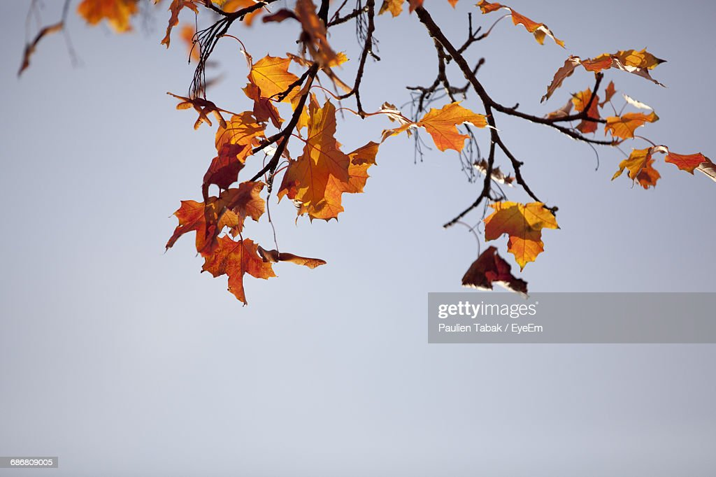 Low Angle View Of Autumnal Tree Against Clear Sky : Stock Photo