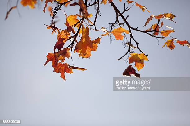 low angle view of autumnal tree against clear sky - paulien tabak foto e immagini stock