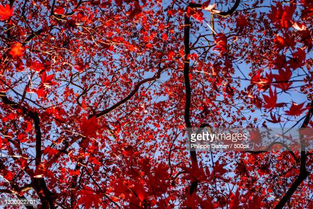 low angle view of autumnal tree against sky,morioka,japan - 盛岡市 ストックフォトと画像