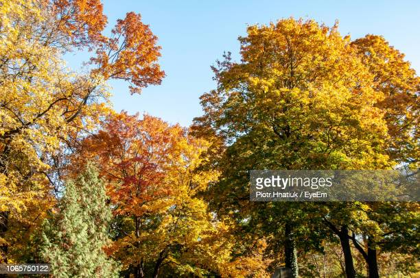 low angle view of autumnal trees against clear sky - piotr hnatiuk stock pictures, royalty-free photos & images
