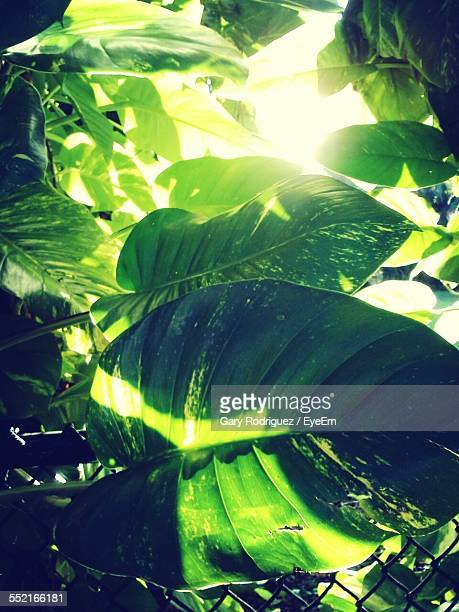 Low Angle View Of Backlit Leaves