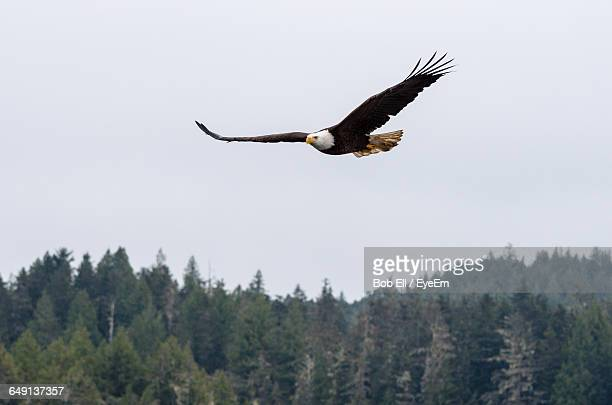 low angle view of bald eagle flying against clear sky - 一匹 ストックフォトと画像