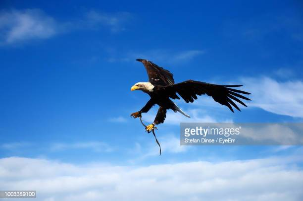 Low Angle View Of Bald Eagle Flying Against Sky