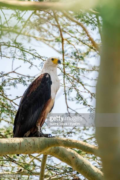 Low Angle View Of Bald Eagle Perching On Tree