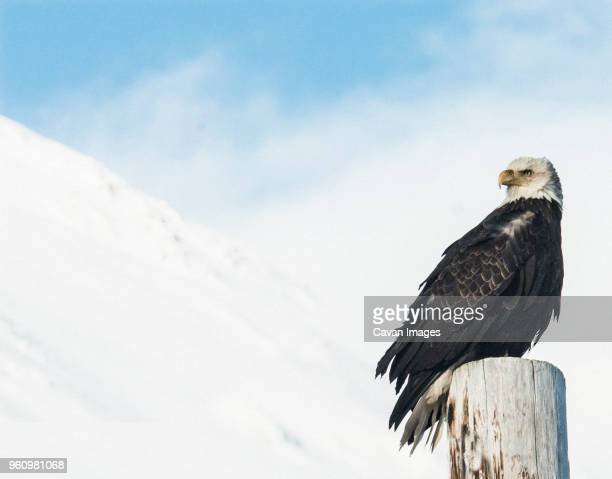 low angle view of bald eagle perching on wooden post against snowcapped mountains at chugach state park - chugach mountains stock pictures, royalty-free photos & images