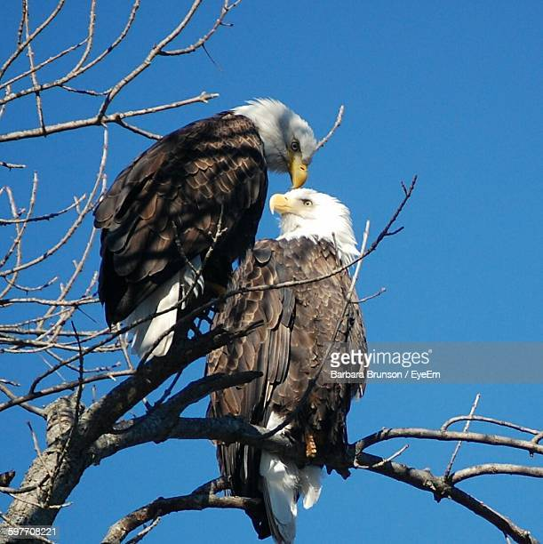 Low Angle View Of Bald Eagles Perching On Tree Branch