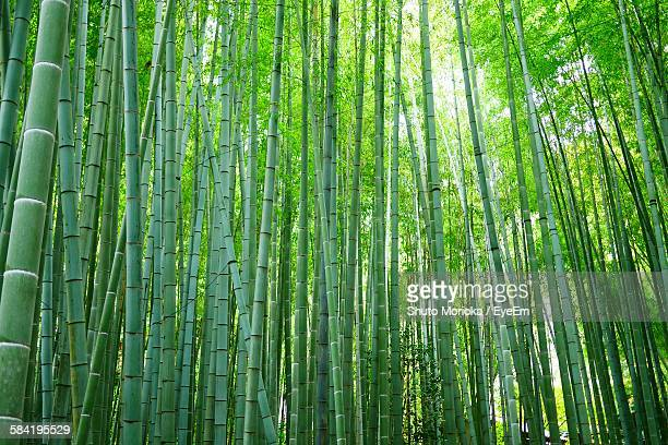 low angle view of bamboo grove in forest - bamboo forest stock photos and pictures