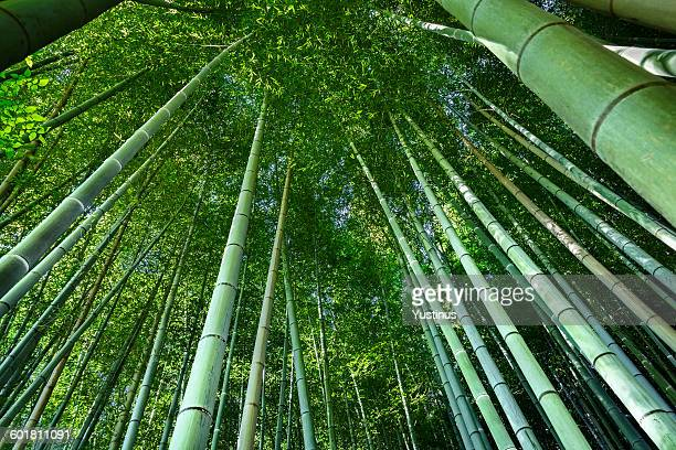 Low angle view of bamboo, Kyoto, Japan