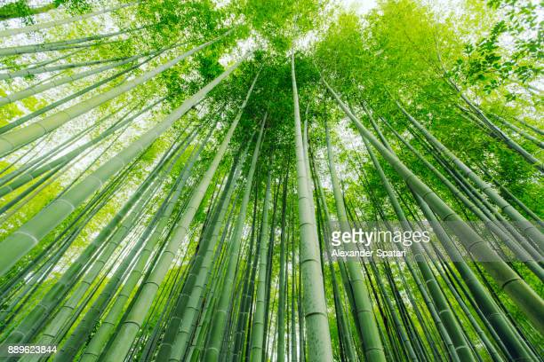 low angle view of bamboo trees in arashiyama, kyoto, japan - bamboo forest stock photos and pictures