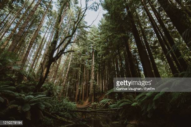 low angle view of bamboo trees in forest - victoria australia stock pictures, royalty-free photos & images