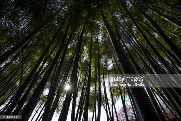 low angle view of bamboo trees in forest - gwangju stock pictures, royalty-free photos & images