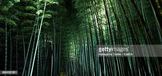 low angle view of bamboo trees in forest - bamboo forest stock photos and pictures