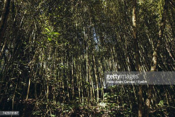 low angle view of bamboo trees in forest - carvajal ストックフォトと画像