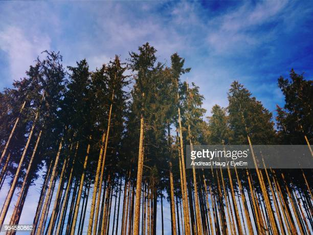 low angle view of bamboo trees in forest - pine woodland stock pictures, royalty-free photos & images