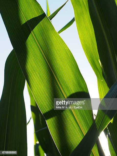 Low Angle View Of Banana Leaves Growing Against Sky