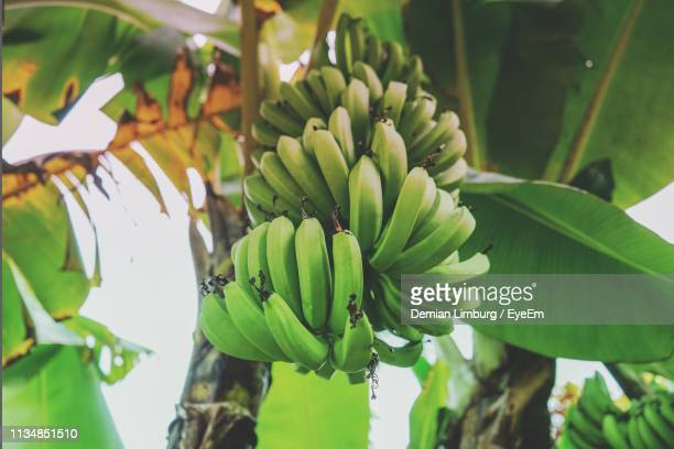 low angle view of bananas growing on tree - banana tree stock pictures, royalty-free photos & images