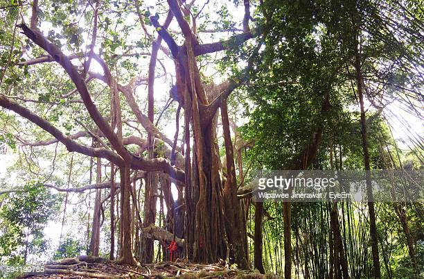 Low Angle View Of Banyan Tree Growing In Forest