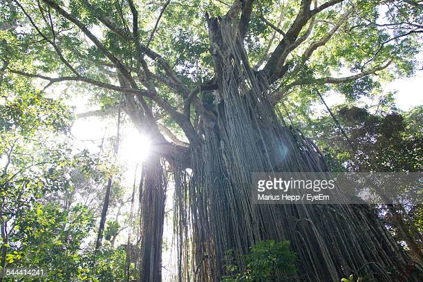 low angle view of banyan tree in forest - banyan tree stock photos and pictures