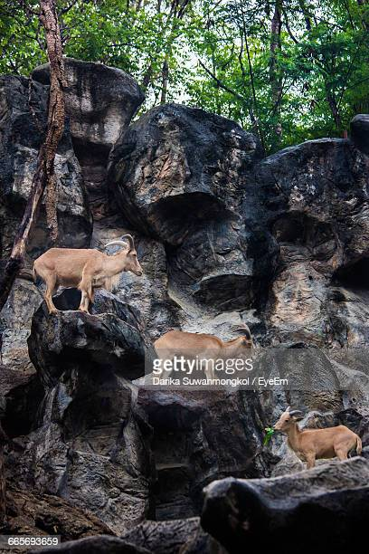 Low Angle View Of Barbary Sheep On Rock