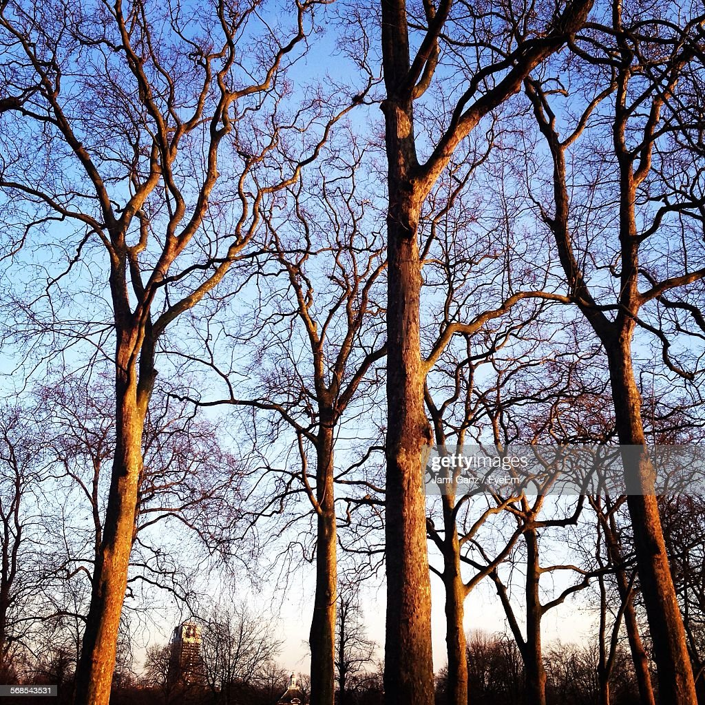 Low Angle View Of Bare Trees Against Clear Sky : Stock Photo