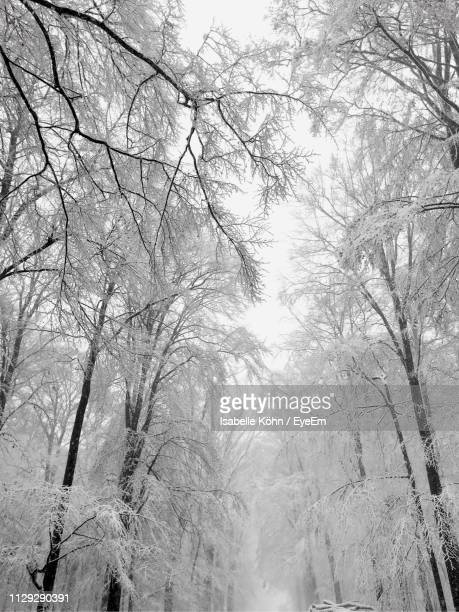 low angle view of bare trees in forest during winter - isabelle foret photos et images de collection