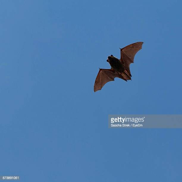 low angle view of bat flying against blue sky - bat animal stock pictures, royalty-free photos & images