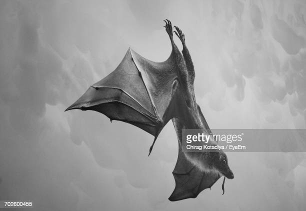 Low Angle View Of Bat Flying Against Sky