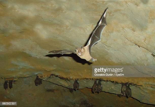 Low Angle View Of Bat Flying In Cave