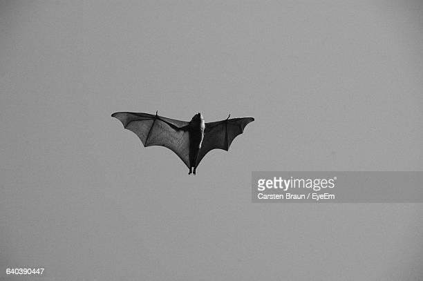Low Angle View Of Bat Flying In Clear Sky