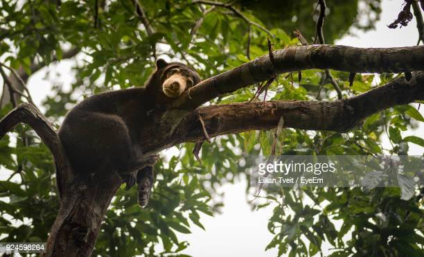 Low Angle View Of Bear Cub Resting On Branch