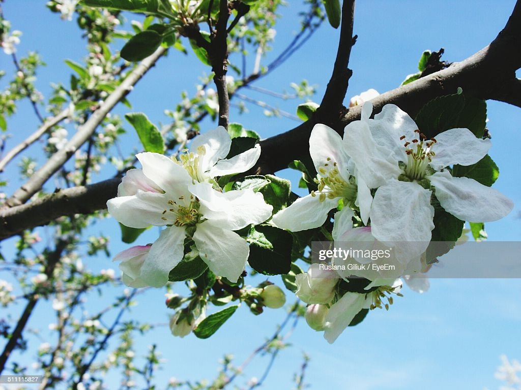 Low angle view of beautiful flowers blooming on tree against sky low angle view of beautiful flowers blooming on tree against sky stock photo izmirmasajfo Images