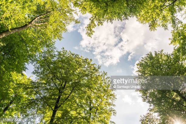 low angle view of beech forest in springtime - trädkrona bildbanksfoton och bilder